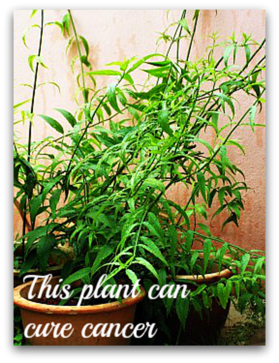 Sabah Snake Grass : Herbal Cancer Treatment