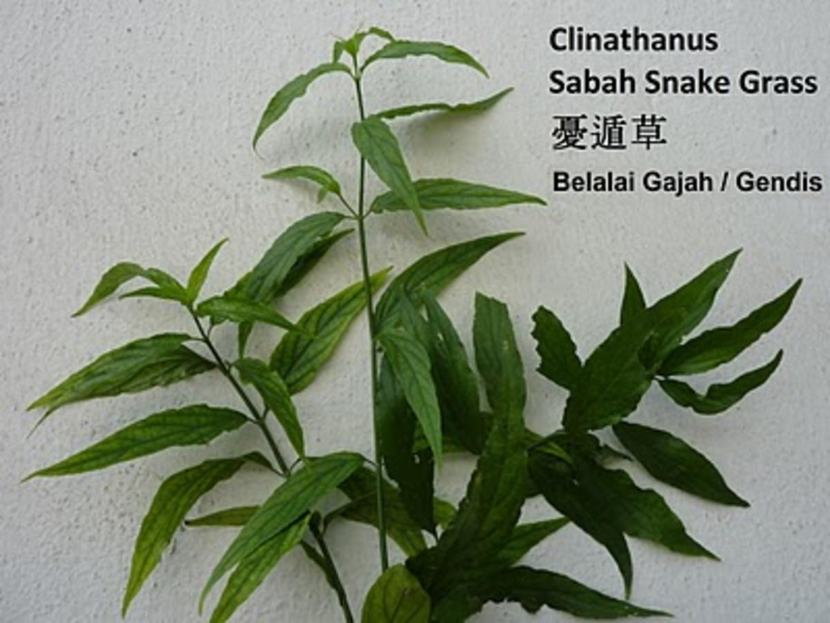 Sabah Snake Grass Herbal Cancer Treatment