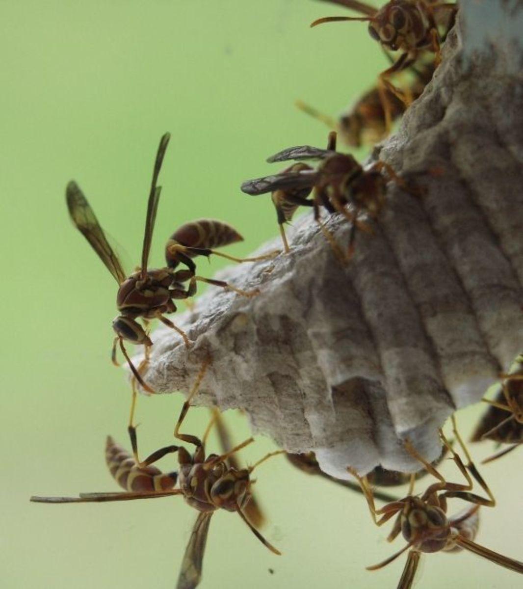 killing-wasps