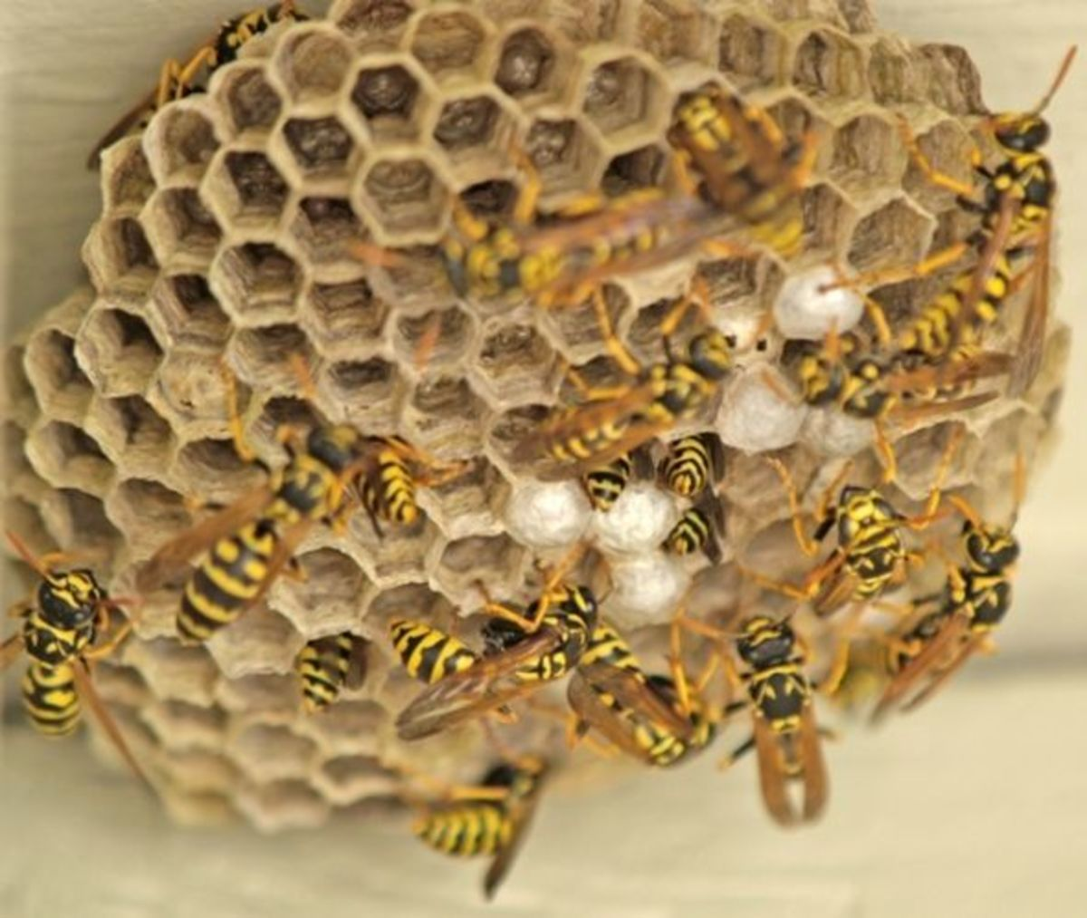 How to Kill Wasps--Safely | HubPages