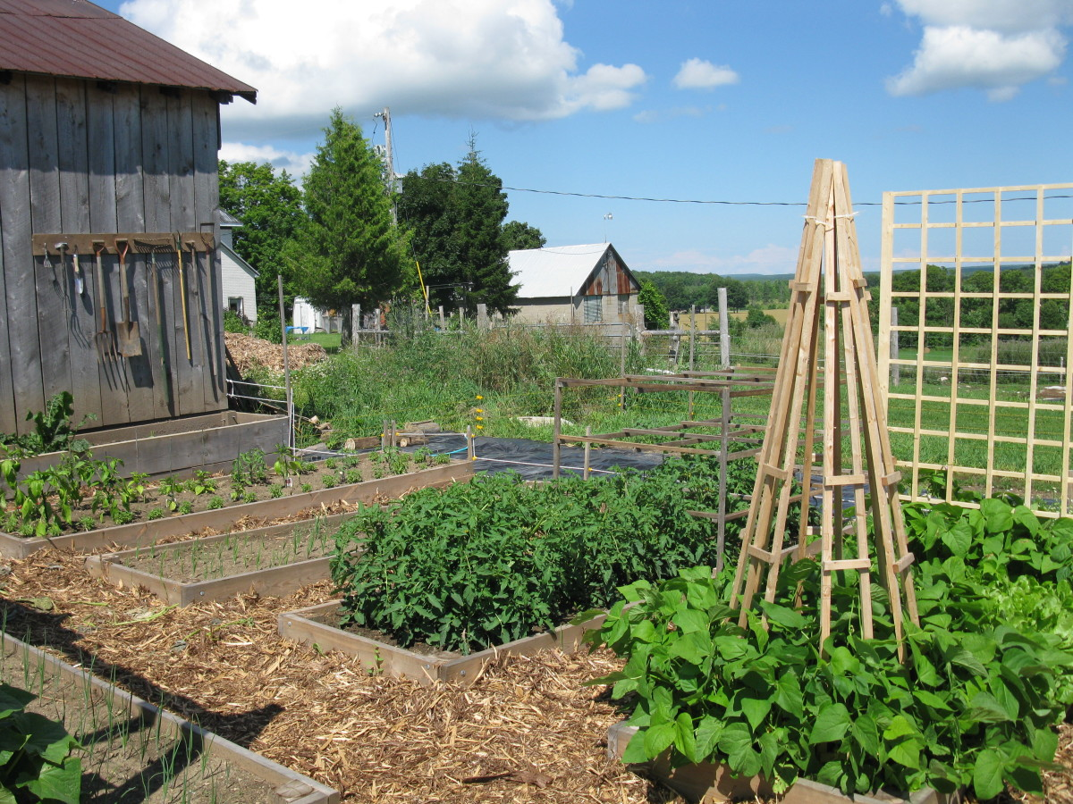 Non-running beans with a lovely strong trellis
