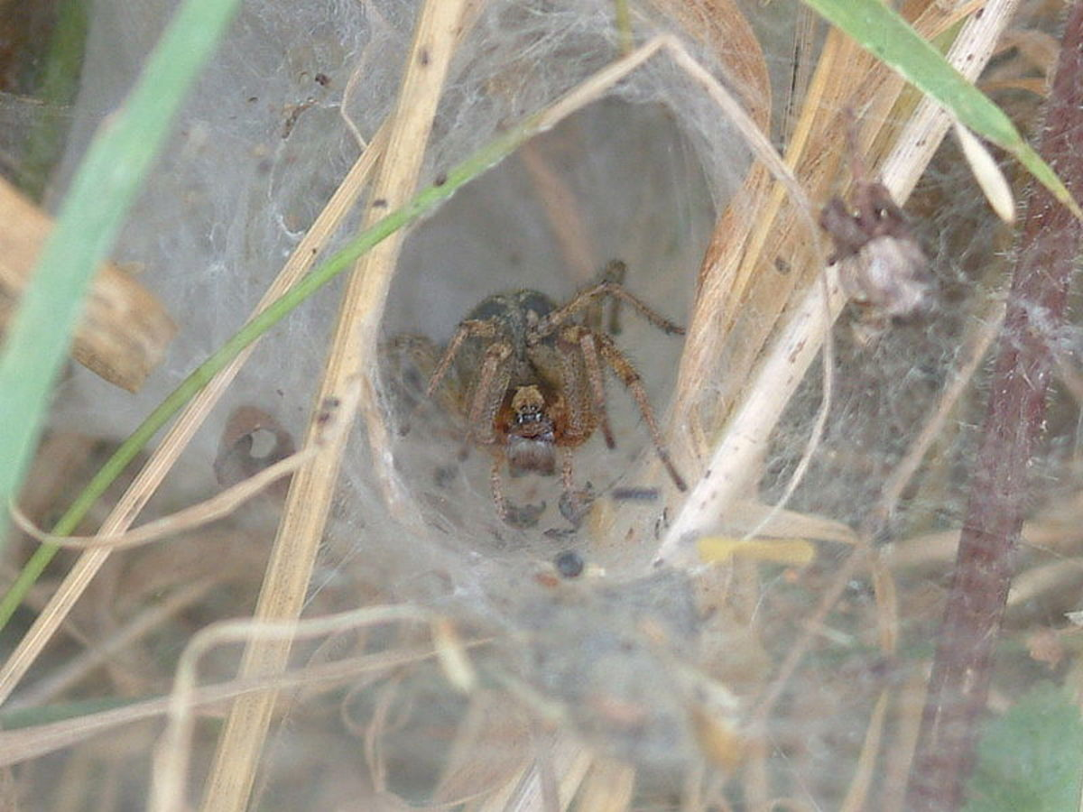 hobo-spider-facts