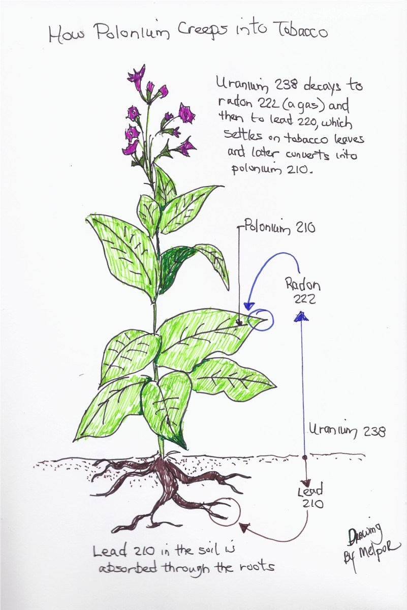Drawing of tobacco plant to illustrate the source of polonium. Drawing by Melpor.