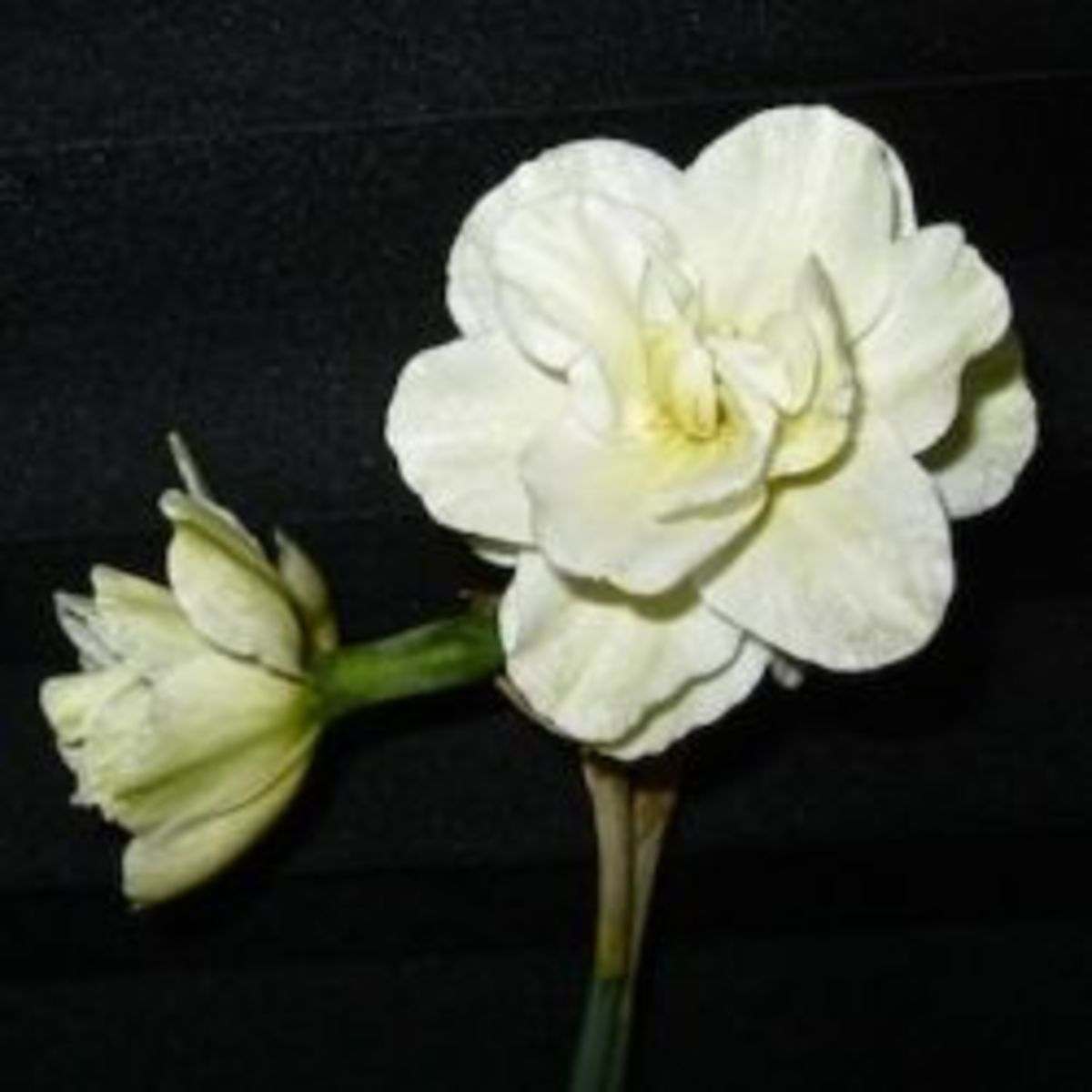 Double Narcissus Poeticus 'Daphne'