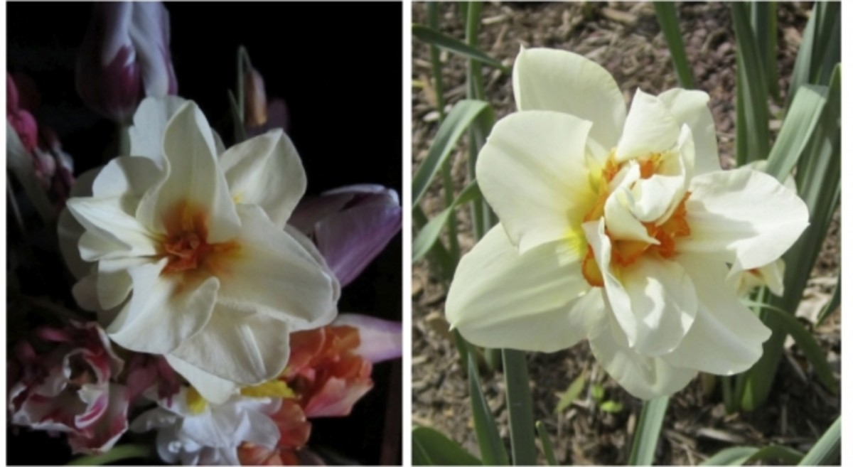 perennial-gardening-rare-unusual-antique-heirloom-spring-daffodils-narcissus-bulbs