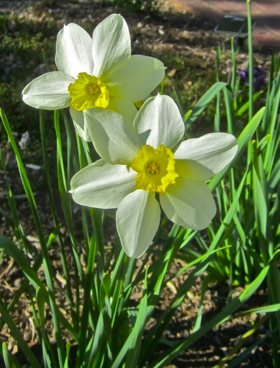 """Narcissus medioluteus """"Twin Sisters """" dates to 1597"""