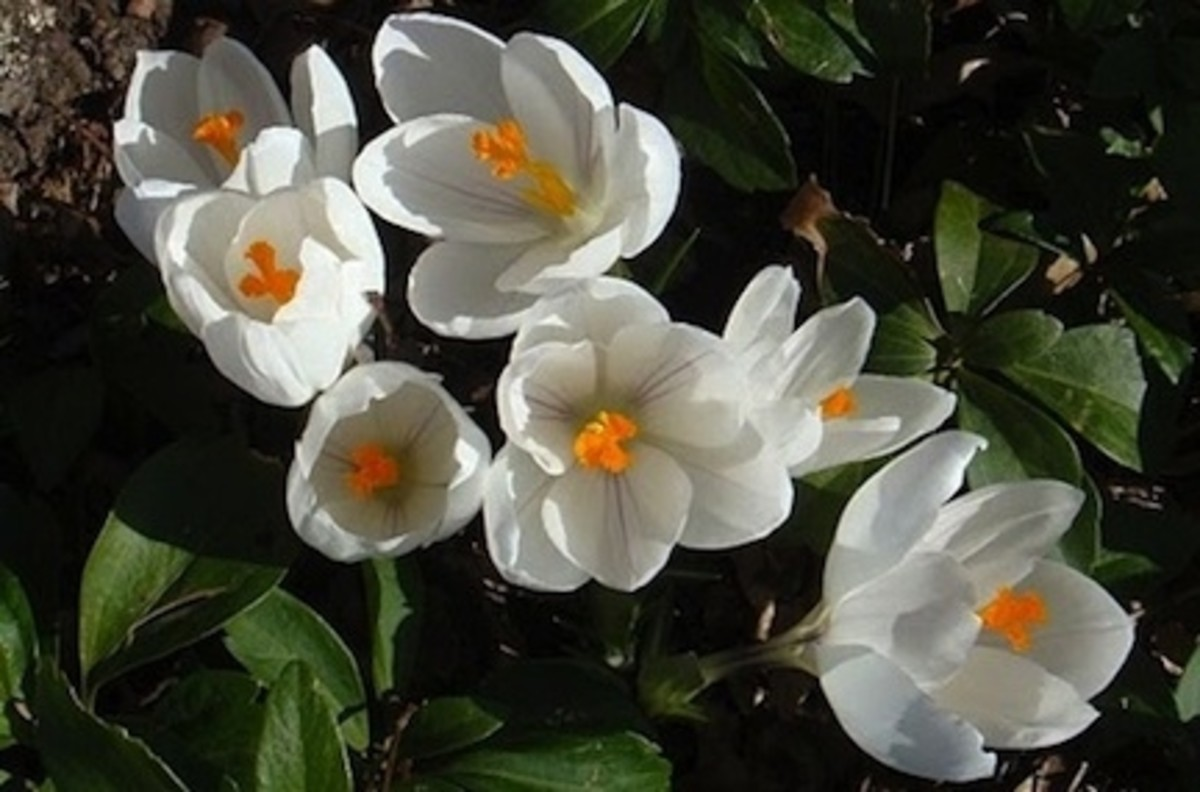 White Crocus chrysanthus, 1914 heirloom spring bulb