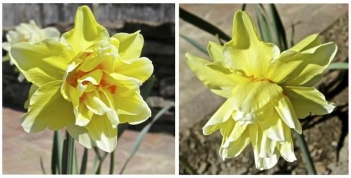 Two views of our mystery double yellow daffodil