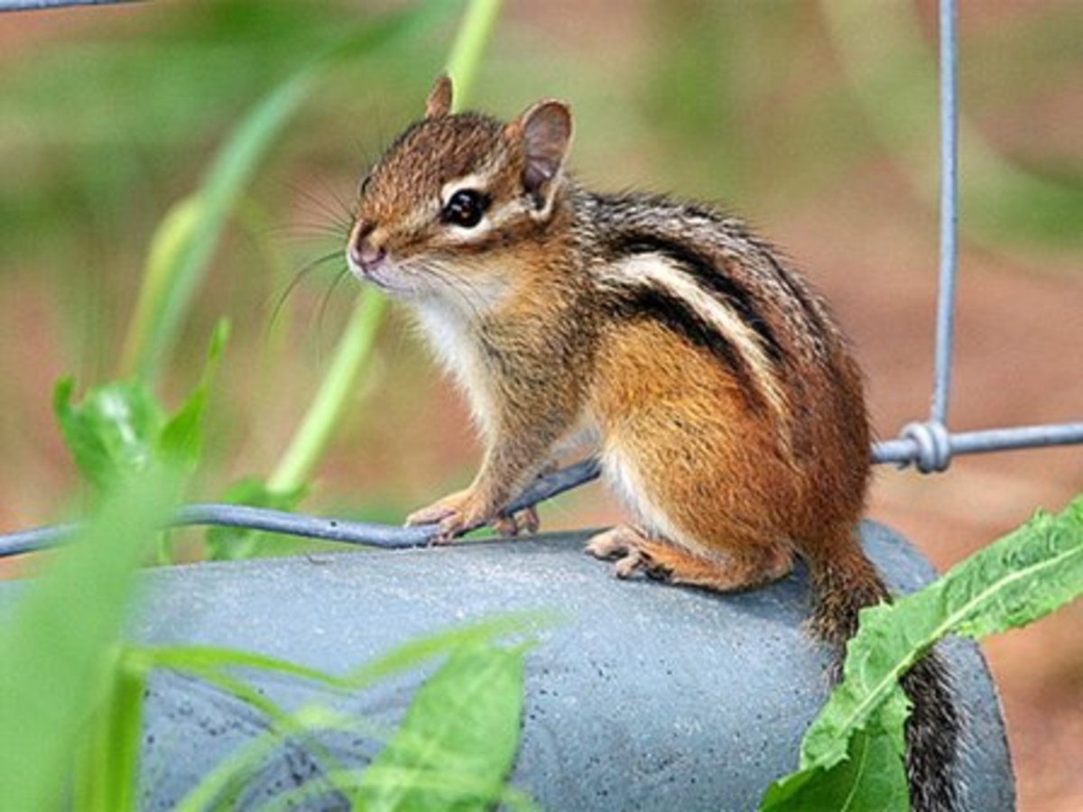 "Problem with pest chipmunks?  Build a ""CHIPPER DIPPER"""