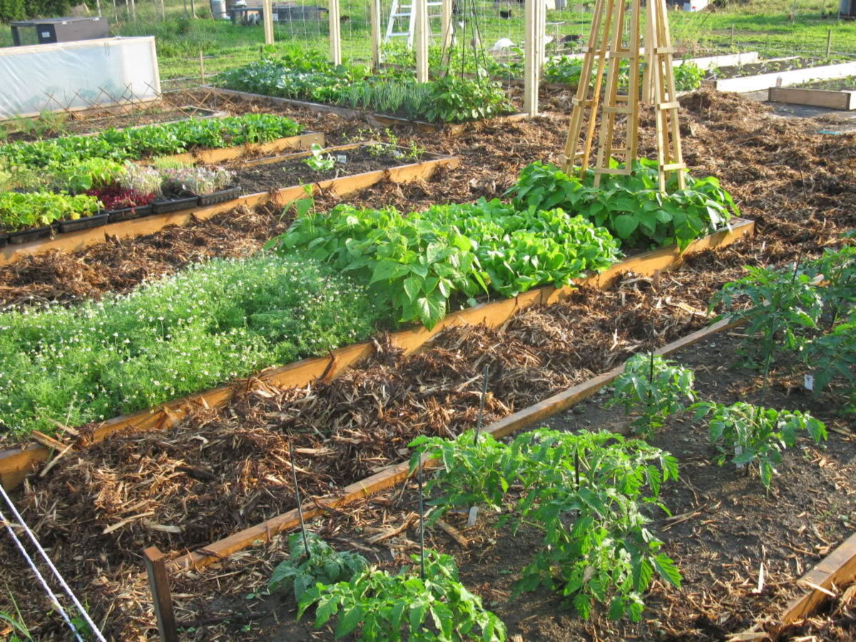 Beds planted up with heritage tomatoes, beans, chamomile, lettuce & beets