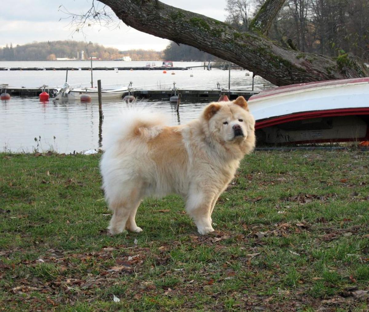 caring-for-your-chow-chow-in-summer-months