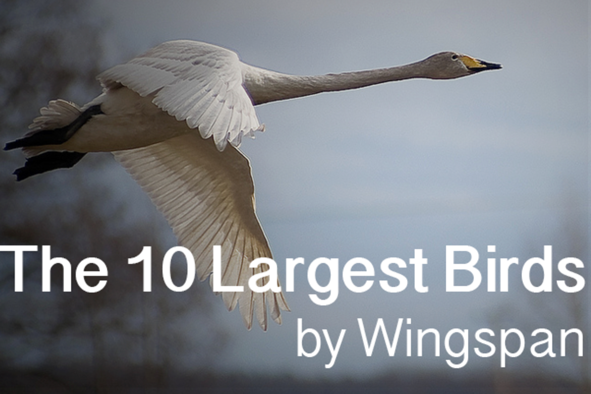 The top 10 largest birds on Earth, measured by wingspan.