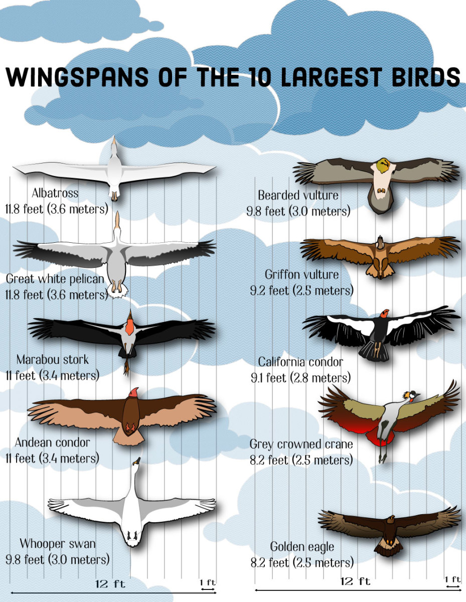 The 10 birds with the largest wingspans in the world.
