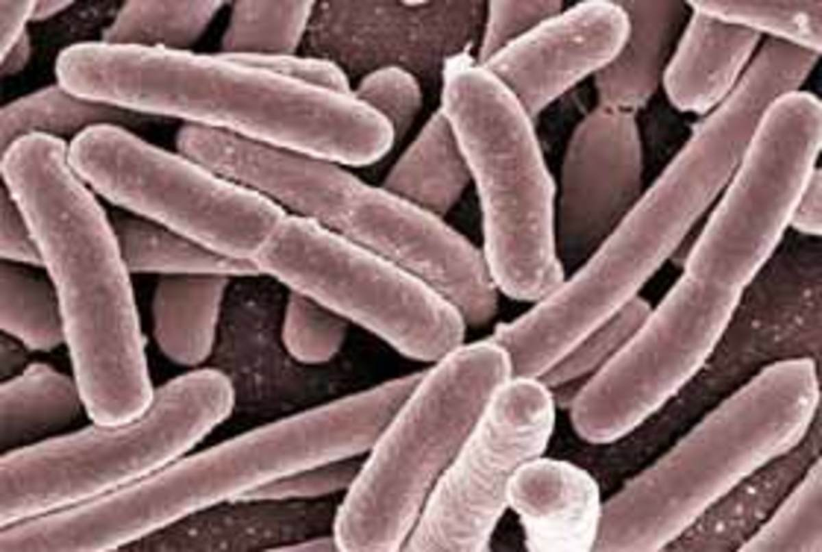 Some Facts About E. Coli Bacteria