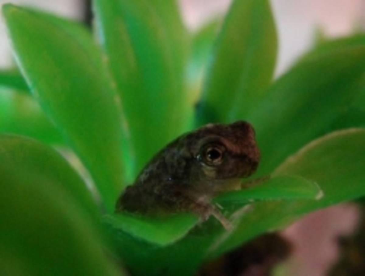 A tree frog we raised from an egg as part of our Real Science for Kids science curriculum.