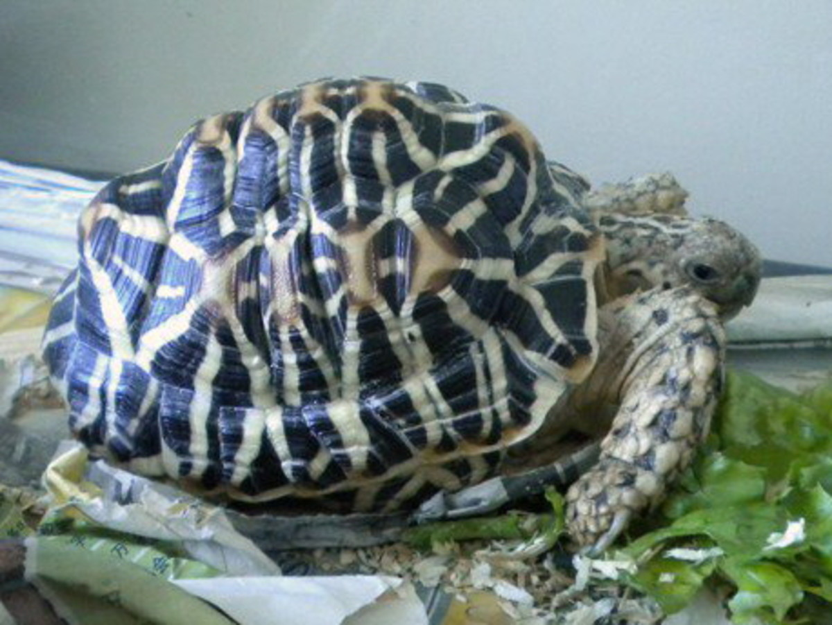 Indian Star Tortoise (Geochelone Elegans) - Information and Basic Pet Care