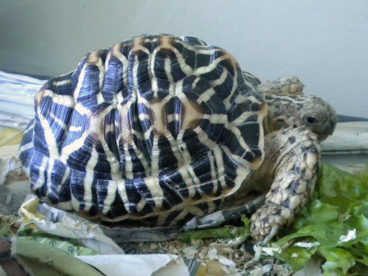 Indian Star Tortoise (Geochelone Elegans) - Information and Basic Pet Care