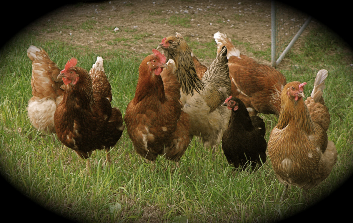 Hens for the Homestead or Backyard Chicken Coop: Top 10 Chicken Breeds