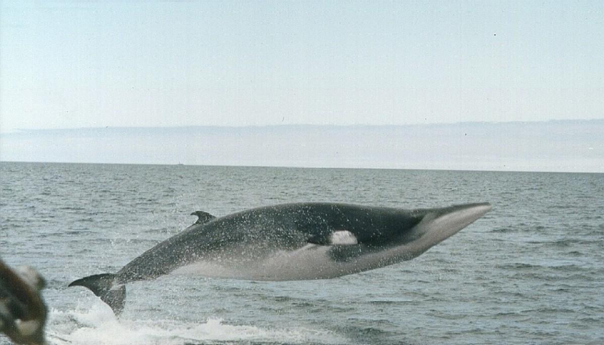 A minke whale breach