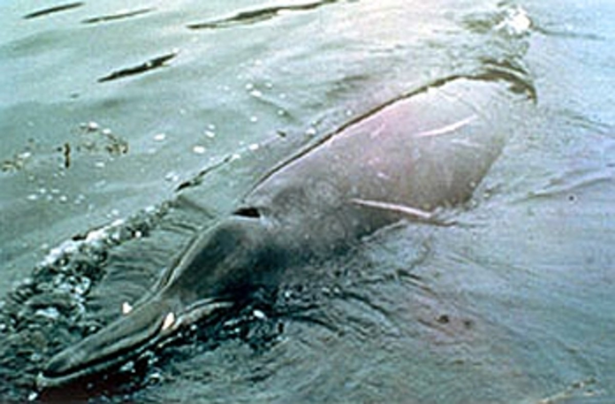 This is a Sowerby's beaked whale.