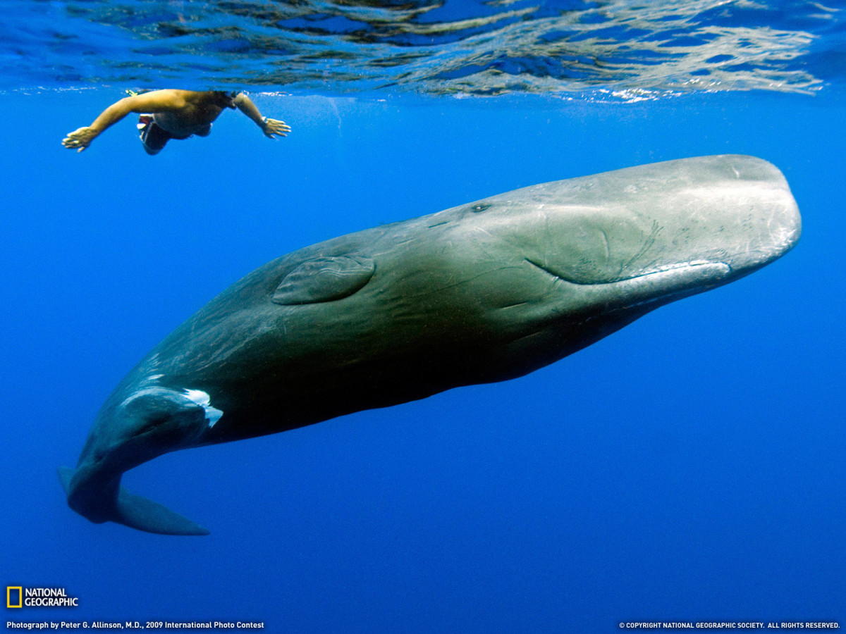A sperm whale taking a look at a human