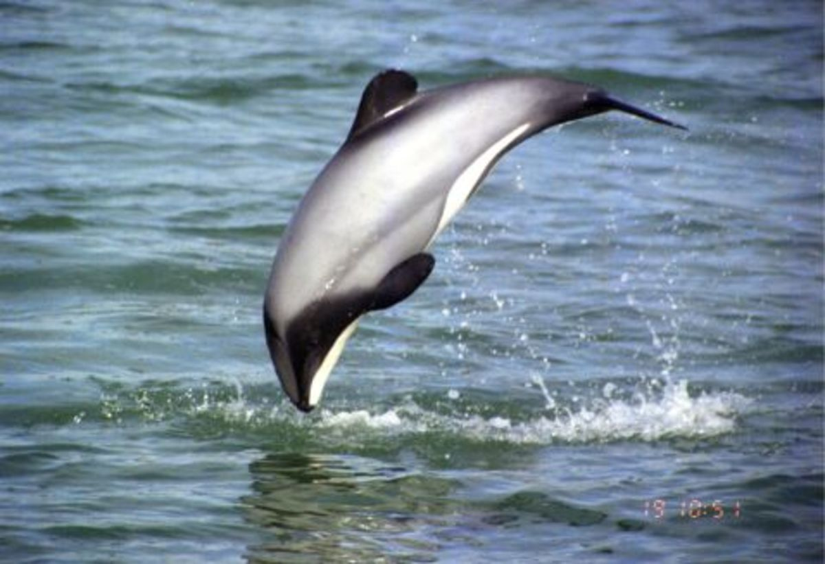 This is a beautiful Hector's dolphin