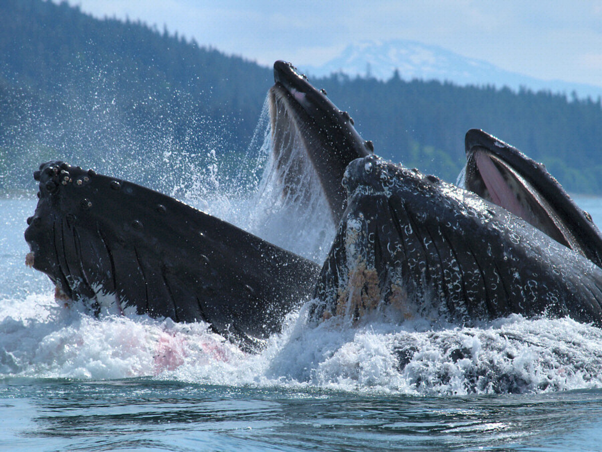 Two humpback whales feeding