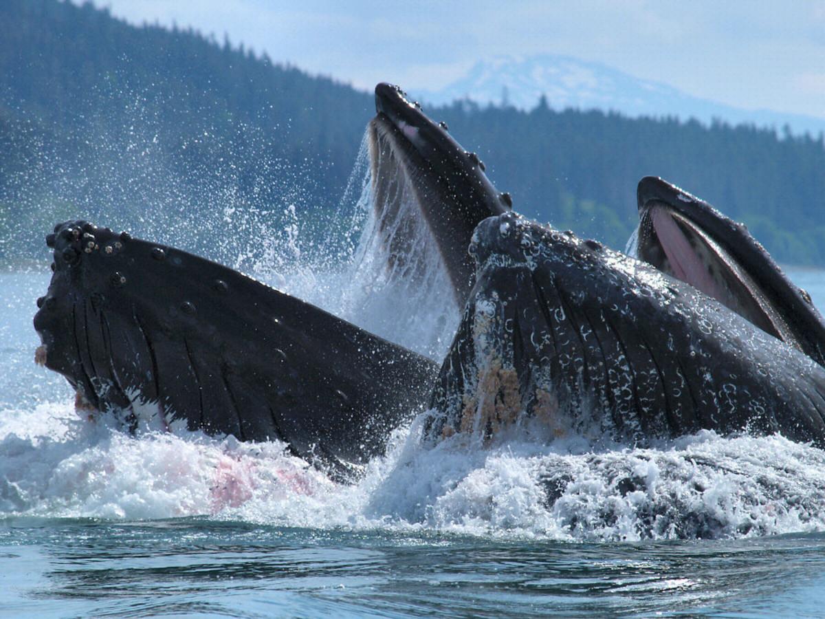 Two humpback whales feeding