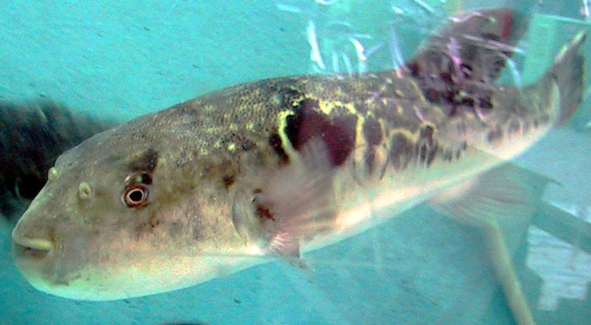 """The infamous """"Fugu"""" puffer fish, source of the tetrodotoxin used in Zombie powder."""
