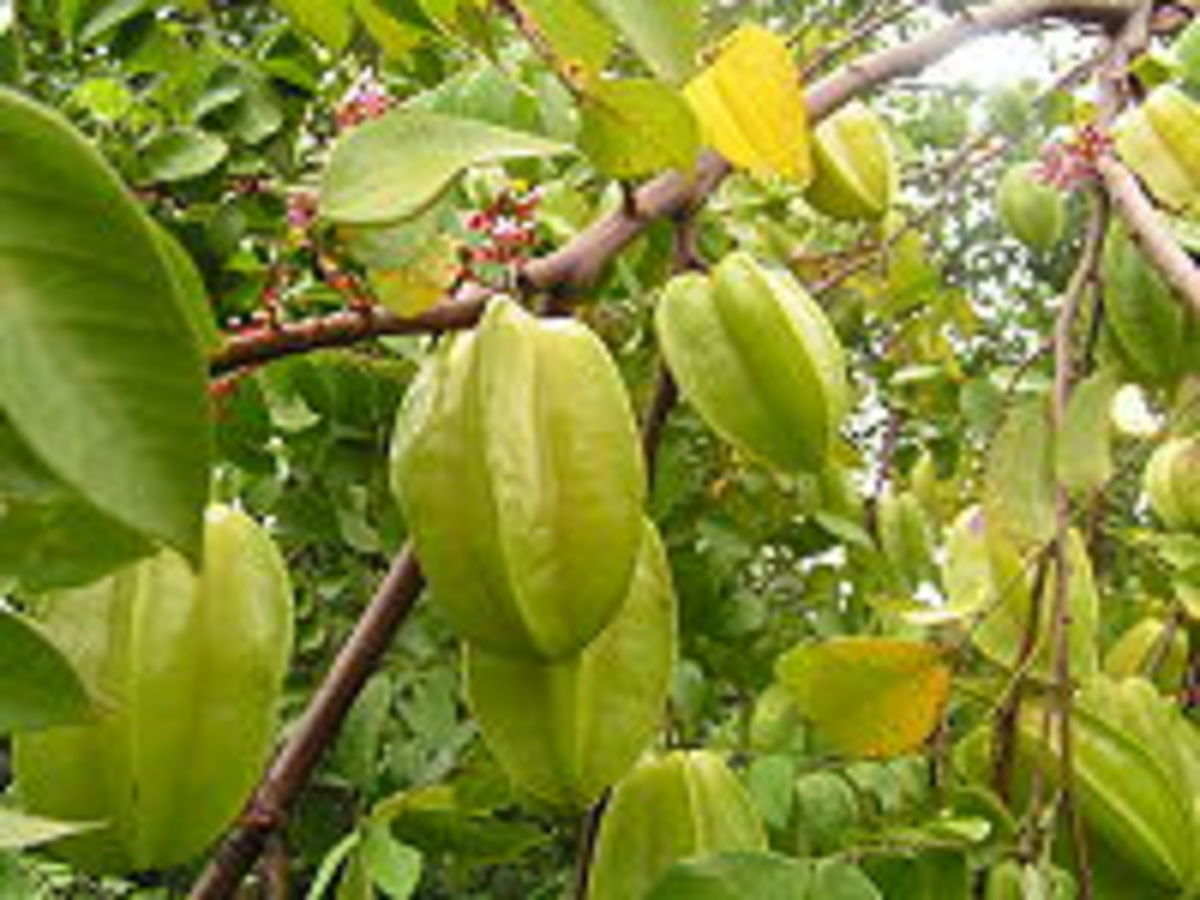 Star fruits on a tree - are they beautiful?