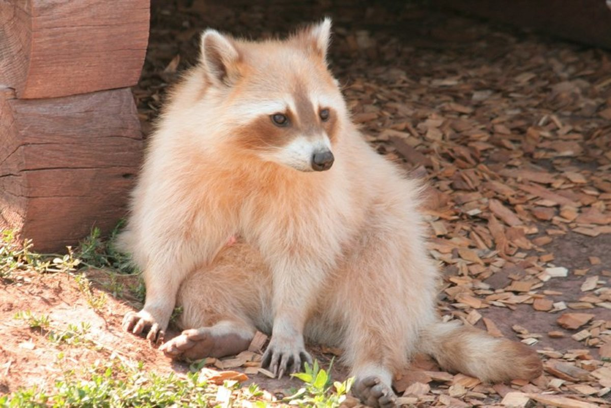 Blonde Raccoon