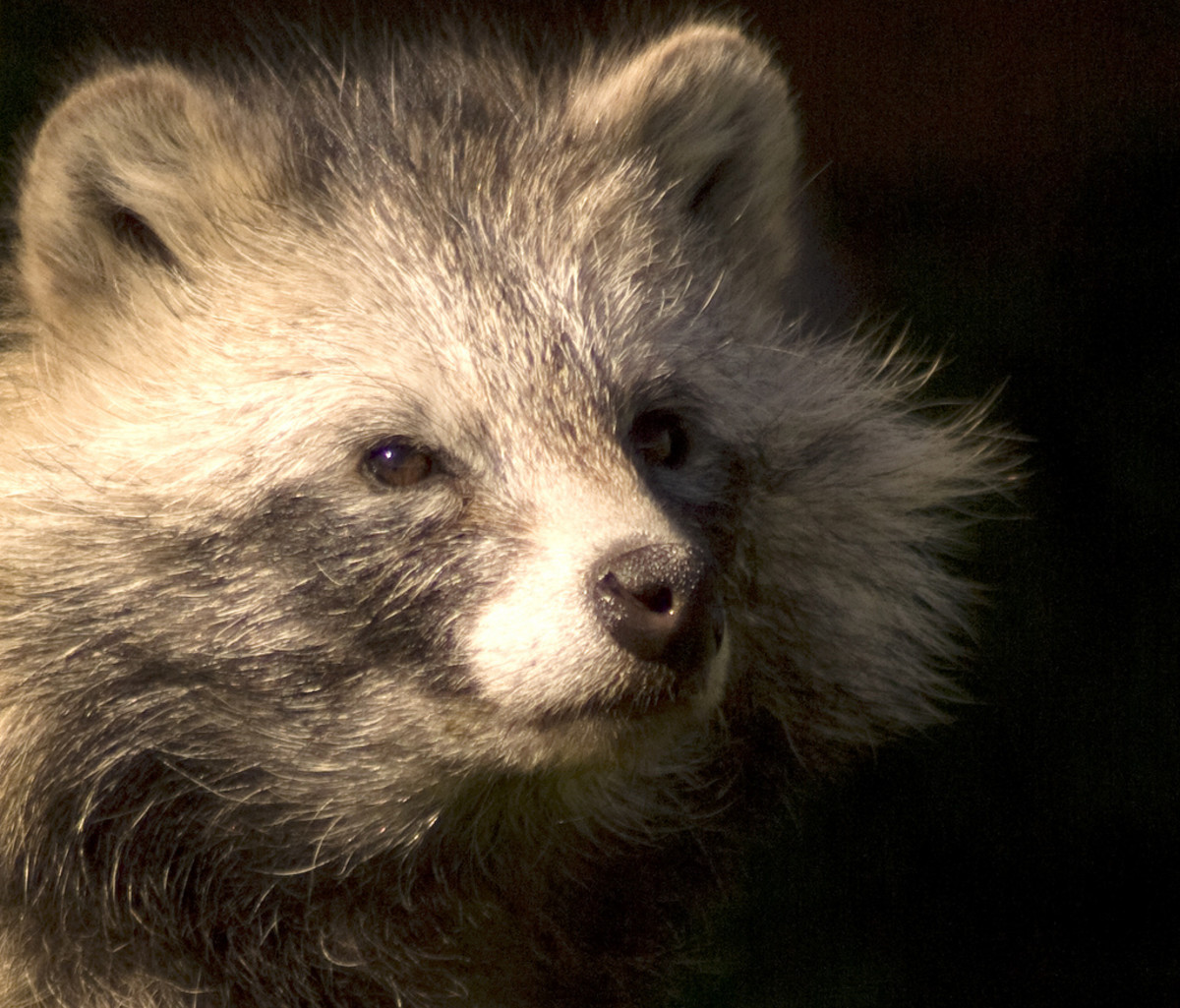 I just included this picture because I wanted to share it with you. It's a beautiful photo of an older raccoon. Notice how gray he is.