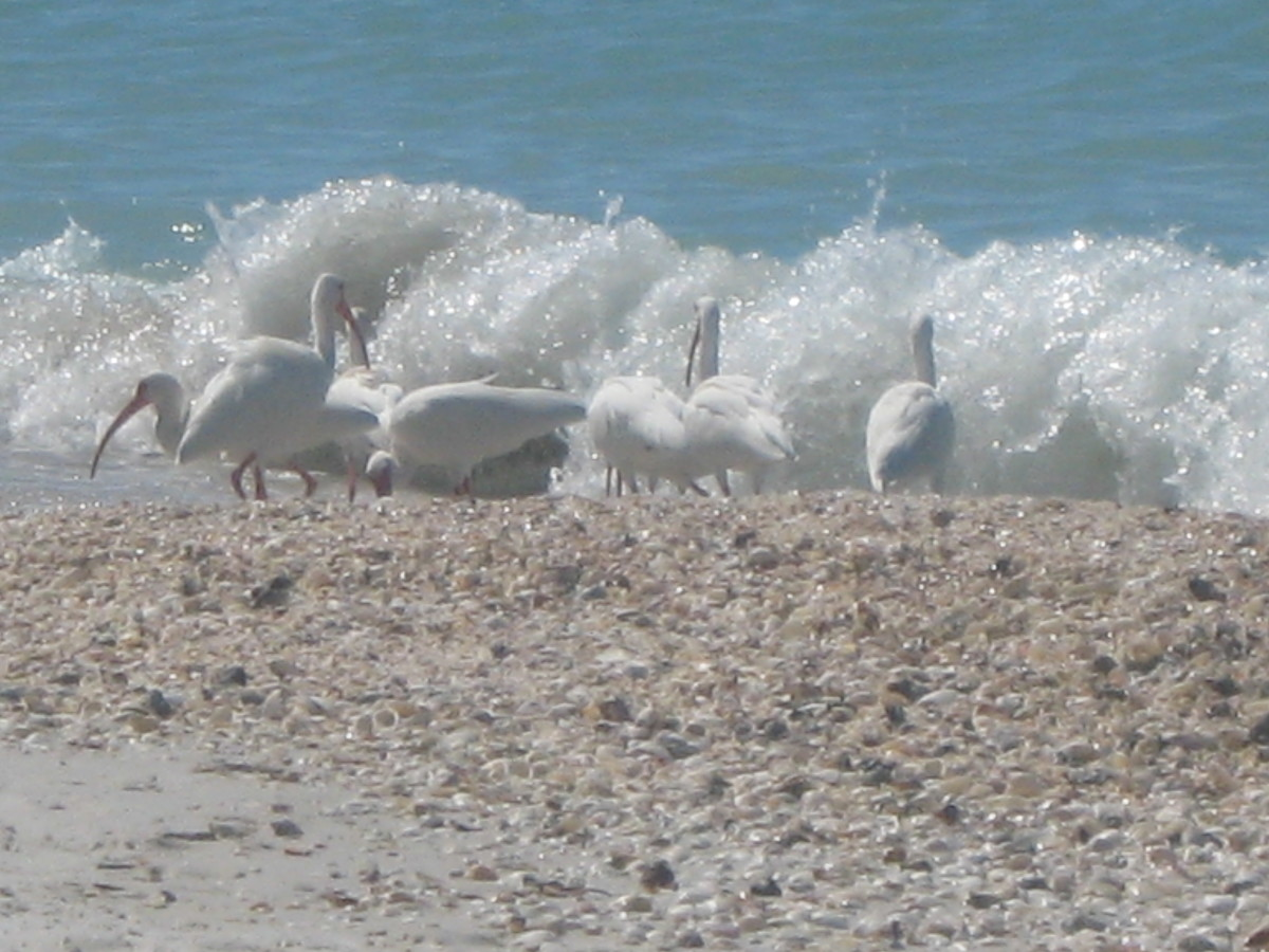 Ibises and sea shells on Seagate Beach in Naples, FL.