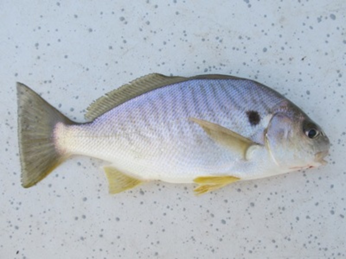 a spot fish
