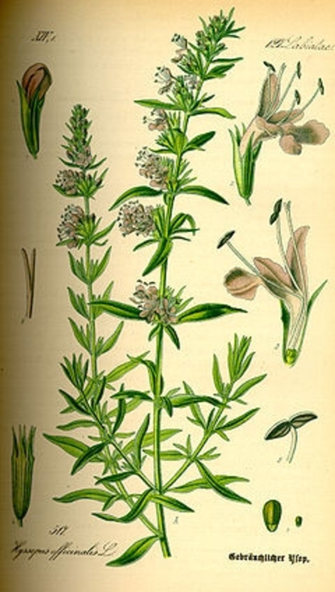 Illustration of Hyssopus officinalis