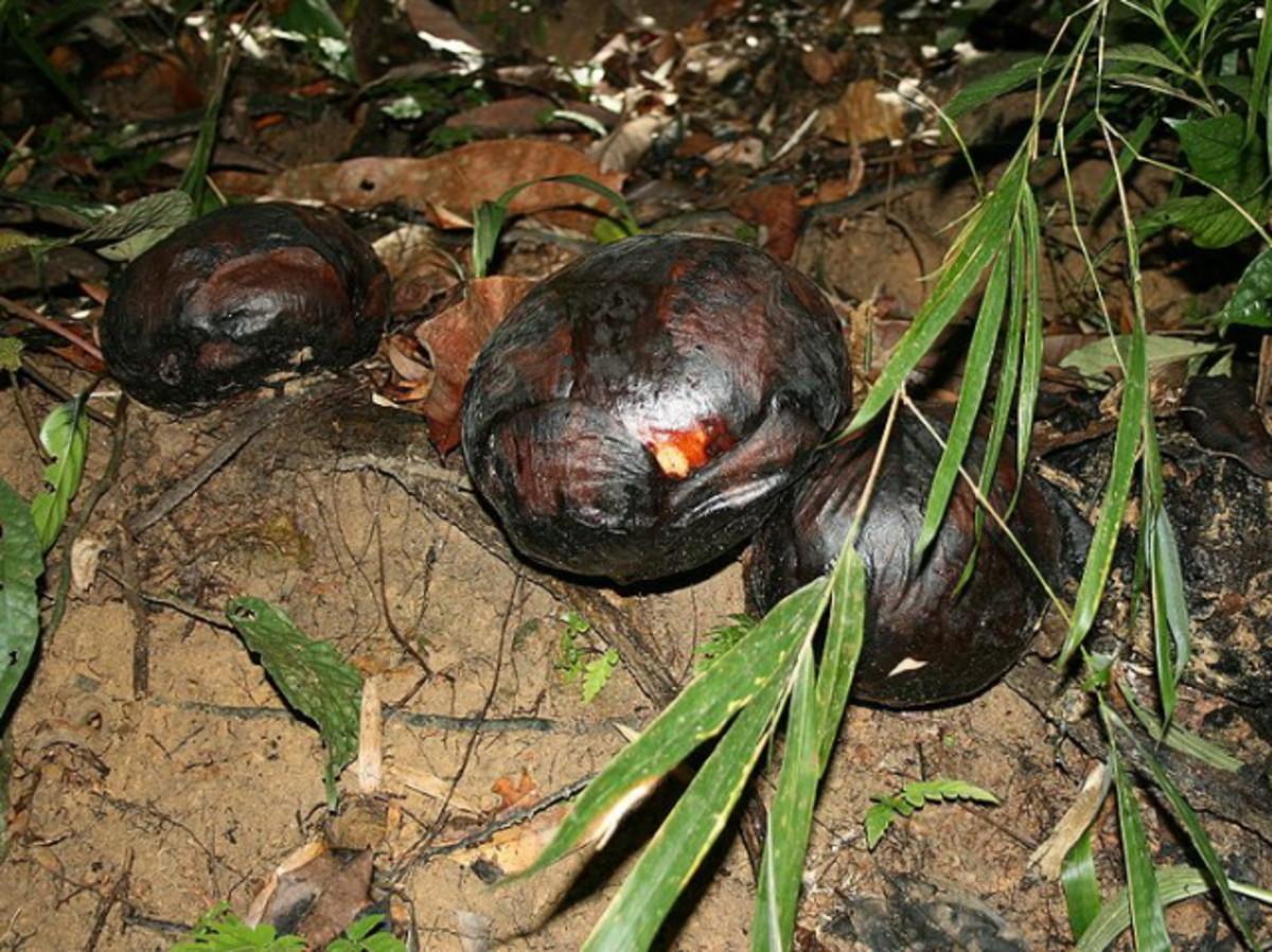 Rafflesia buds