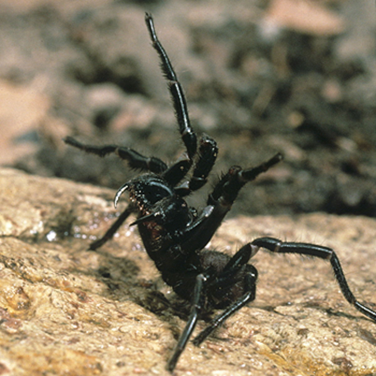 Australia, Poisonous and Venomous Spiders, Snakes and Insects