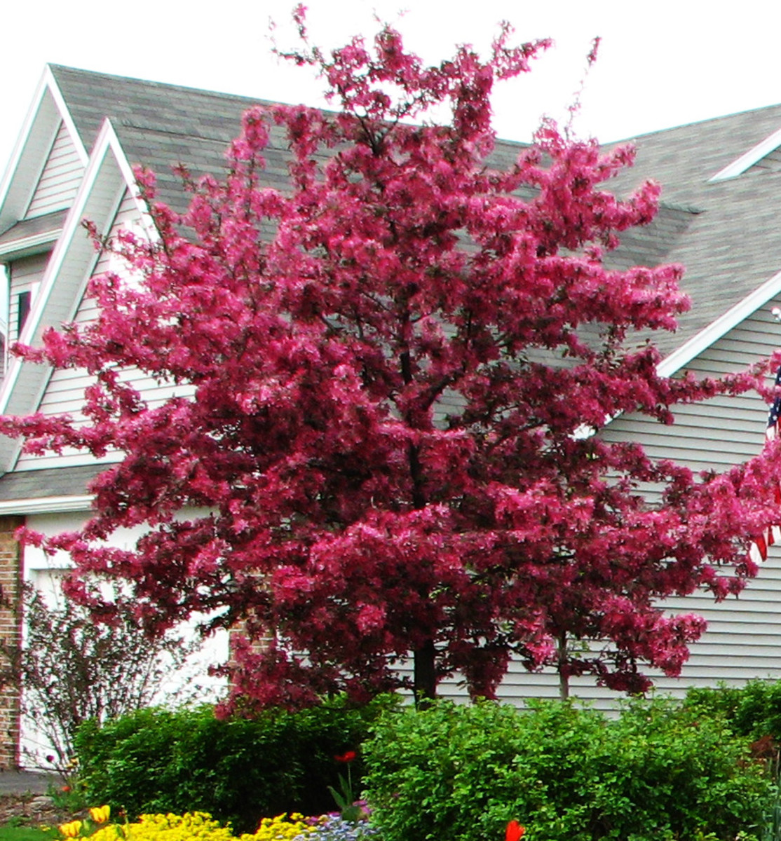 """This is my """"Profusion"""" crabapple tree in my front yard. It is plagued by disease if we have a wet spring."""