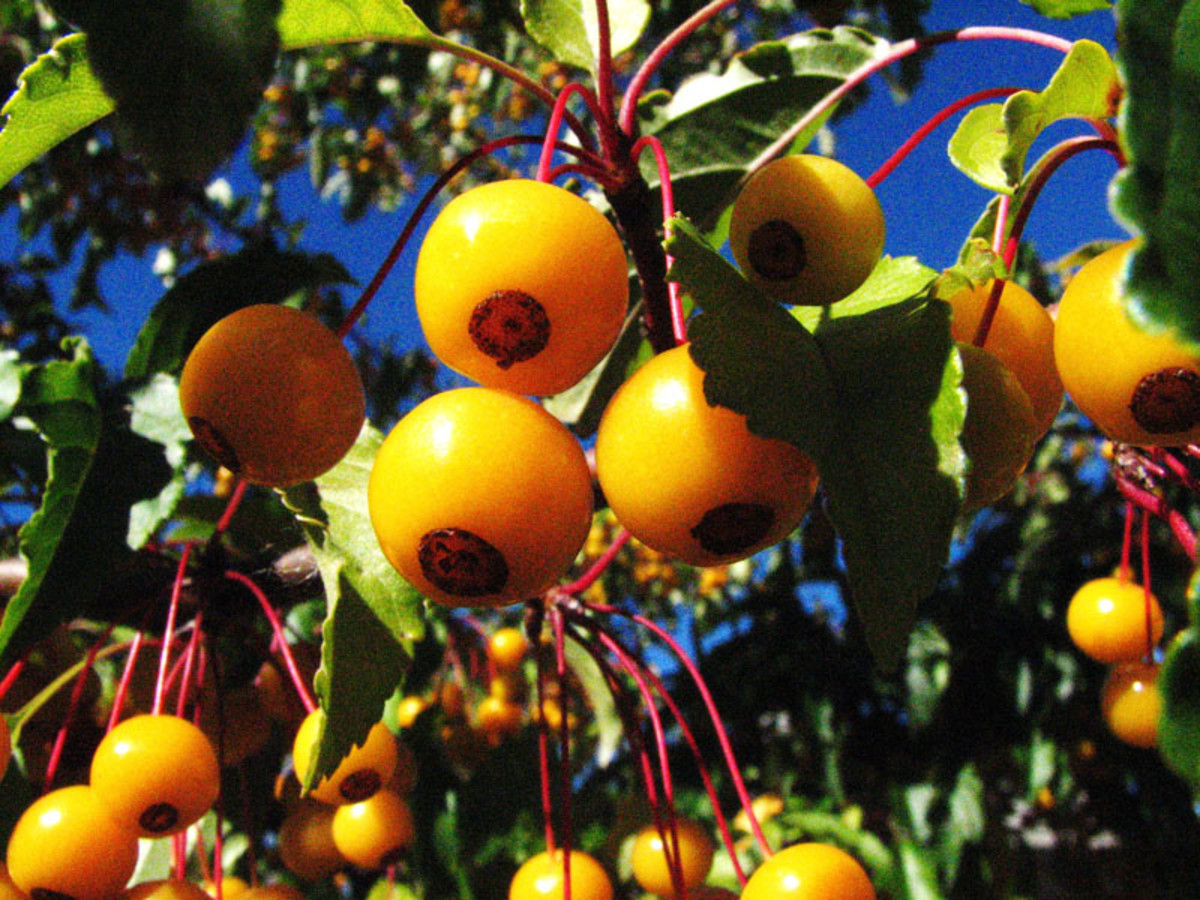 """Tiny golden apples on my """"Golden Raindrops"""" crabapple tree. It provides food for the birds all winter."""