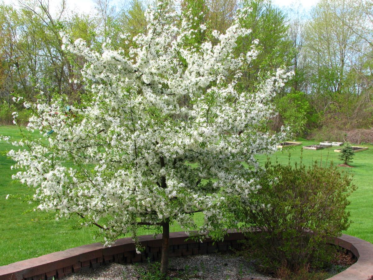"""My gorgeous white crabapple """"Golden Raindrops"""" in full bloom."""