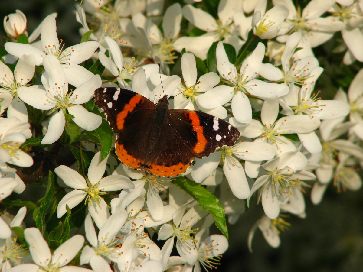 """Bees and butterflies LOVE my """"Golden Raindrops"""". The year this photo was taken, the tree was covered in migrating Red Admiral butterlies."""
