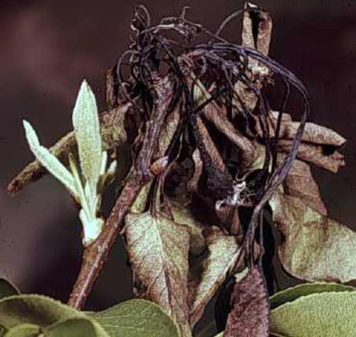 common-diseases-of-crabapple-trees