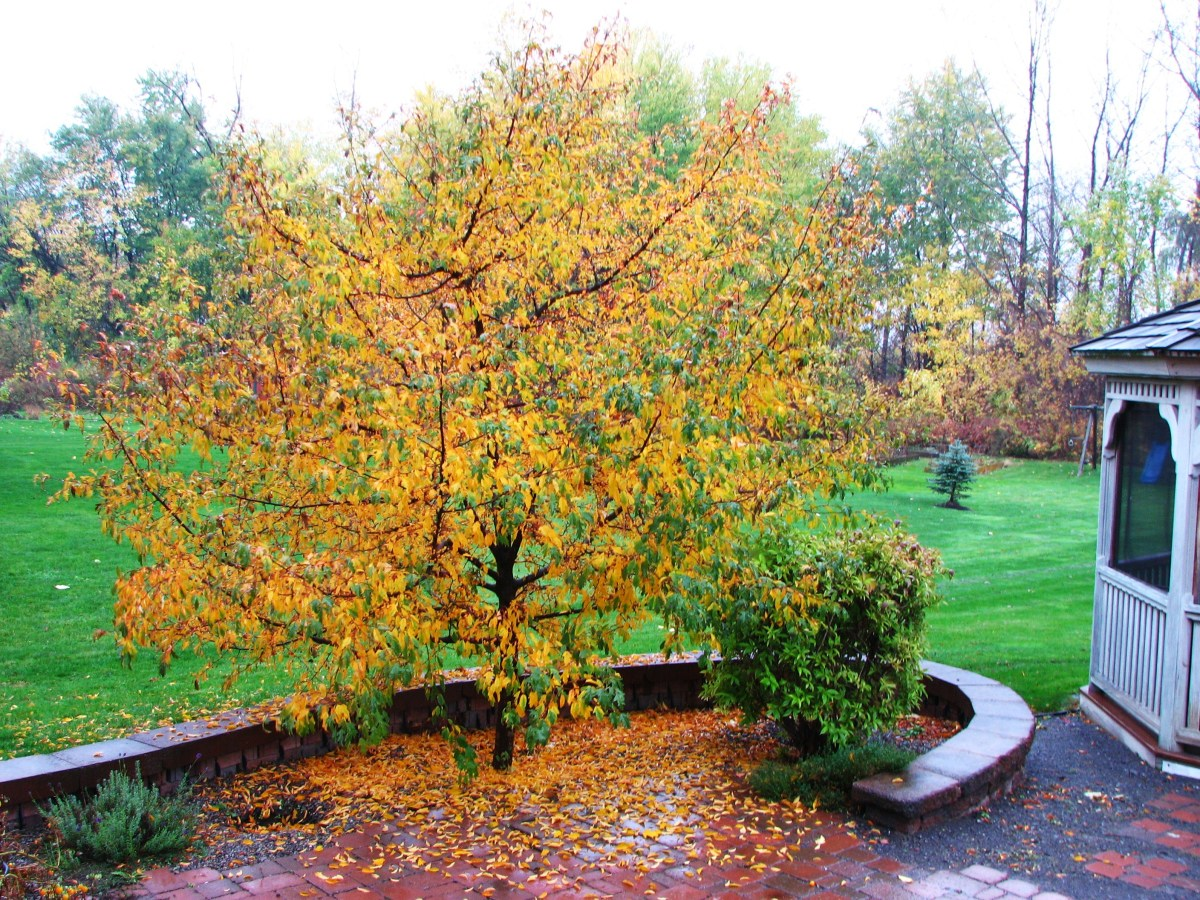 """Golden Raindrops"" in Fall"