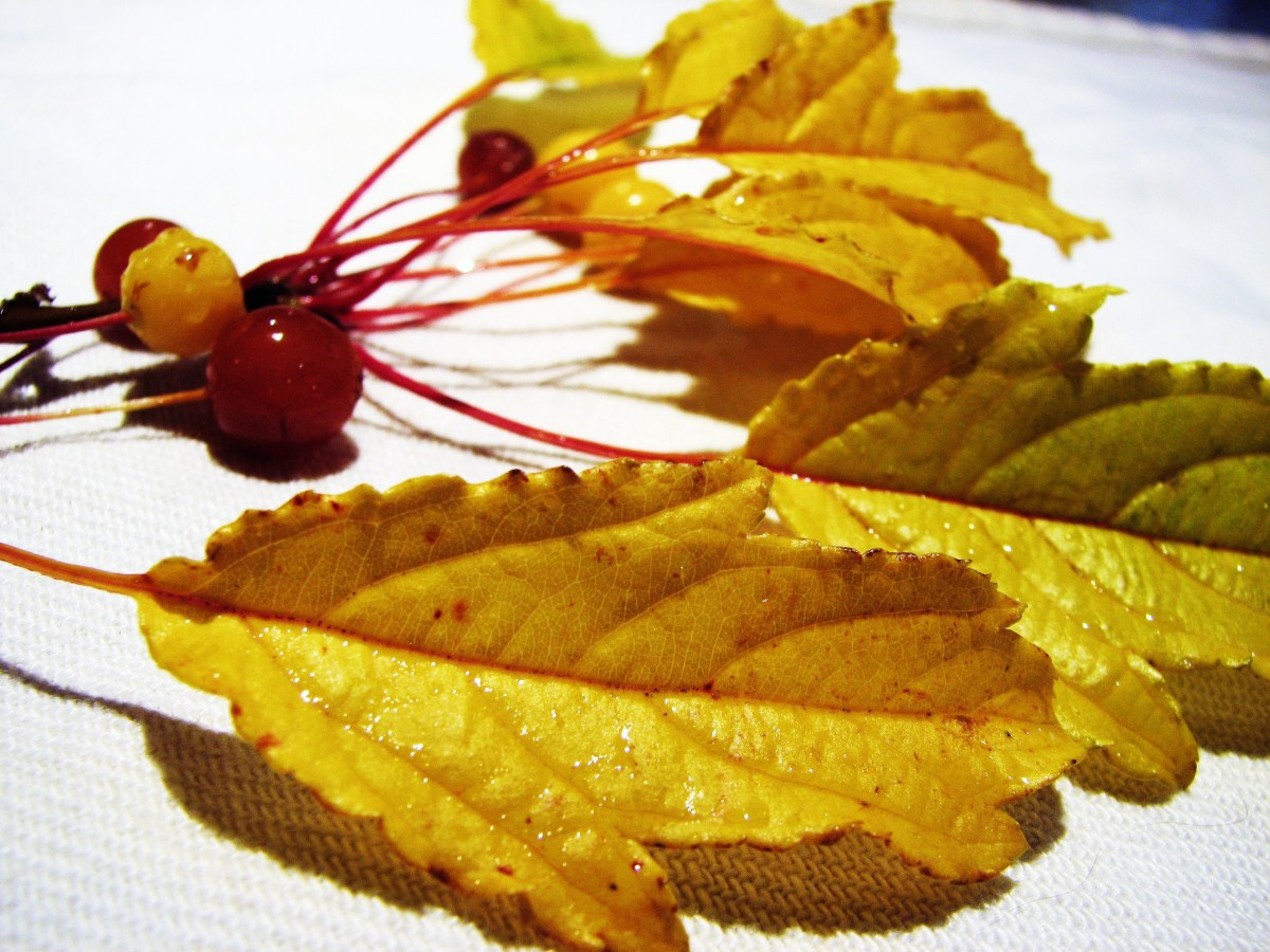"""The gorgeous fall leaves of the """"Golden Raindrops"""" crabbple."""