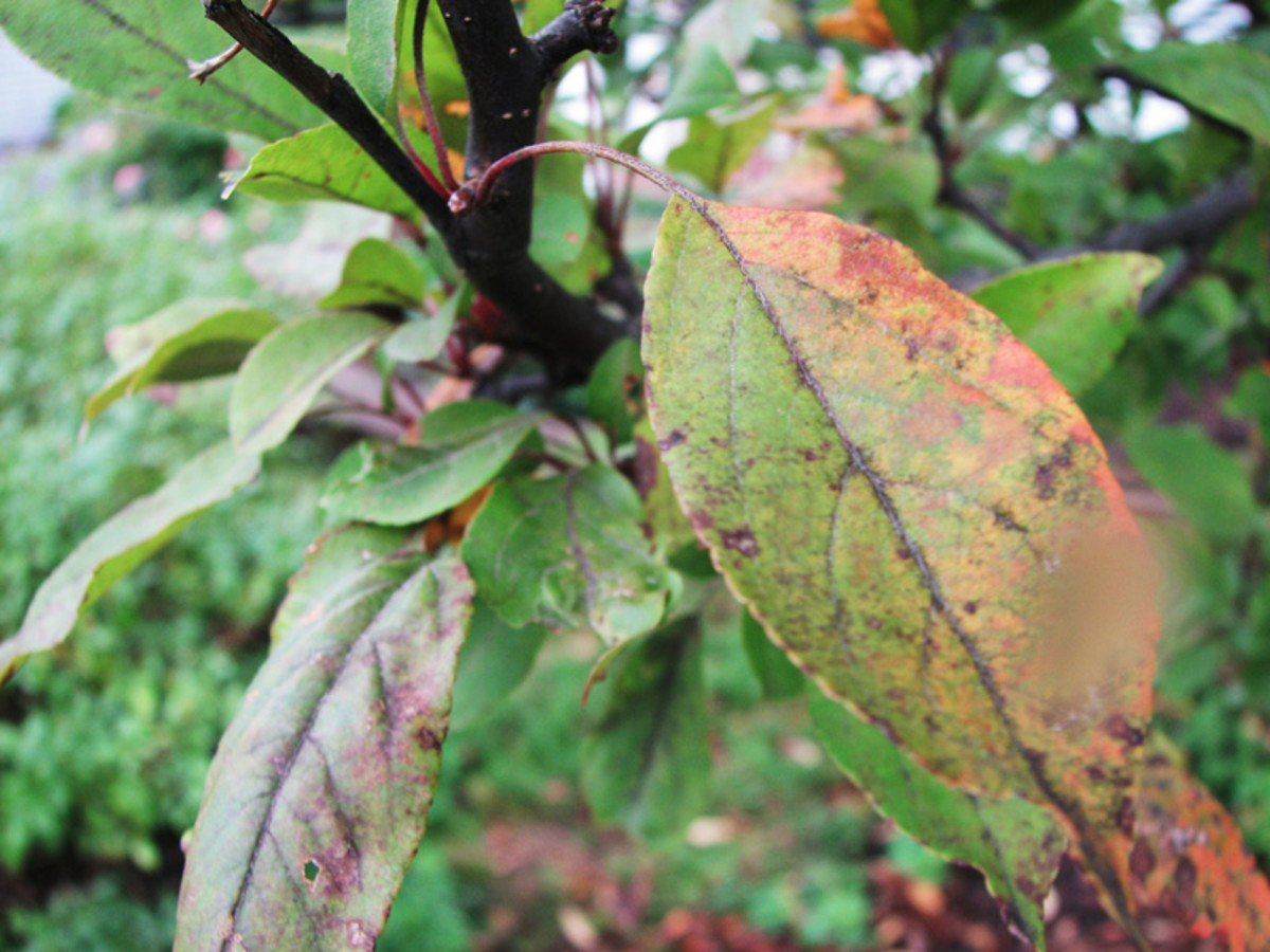 """Apple scab on by beautiful """"profusion"""" crabapple tree."""