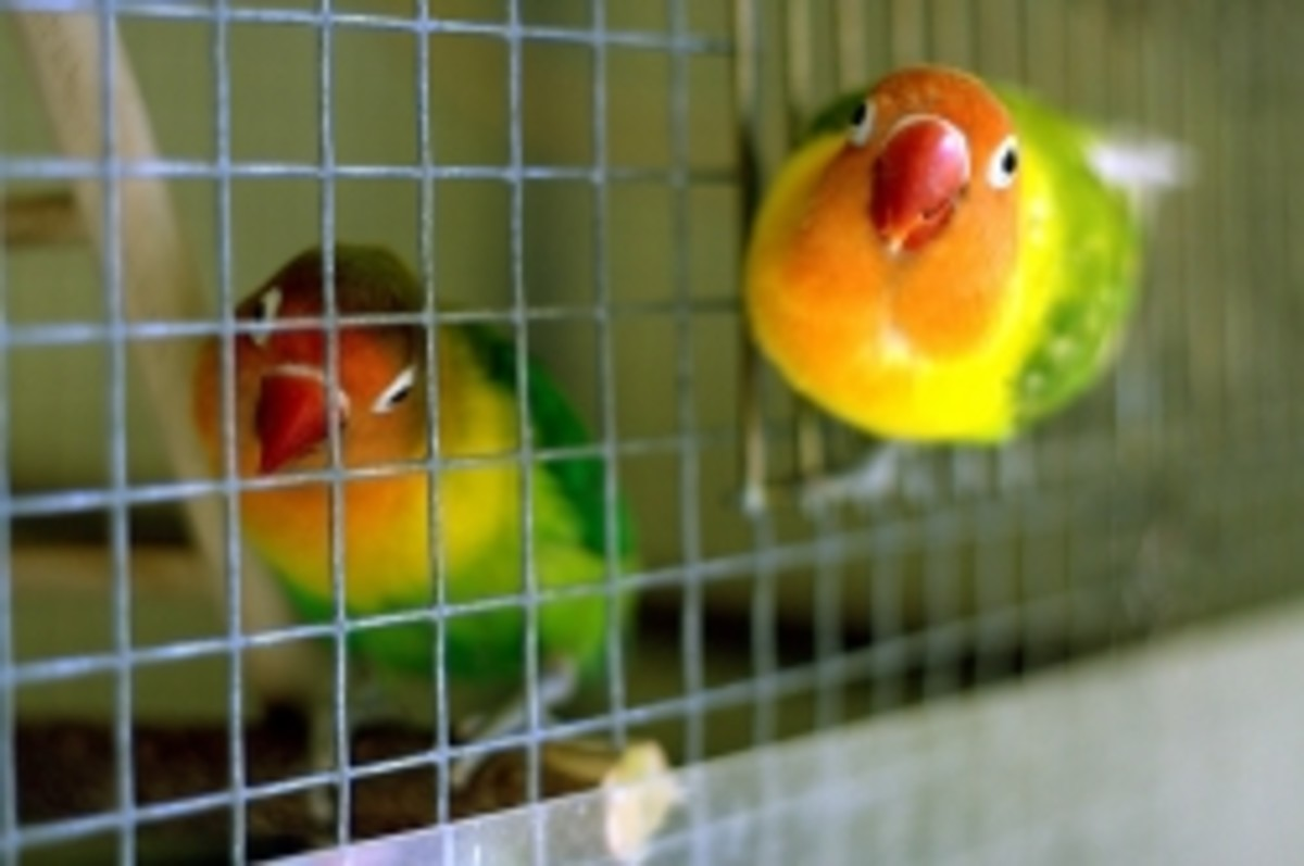 Lovebirds on the side of a cage. Photo | BékiPe | Flickr