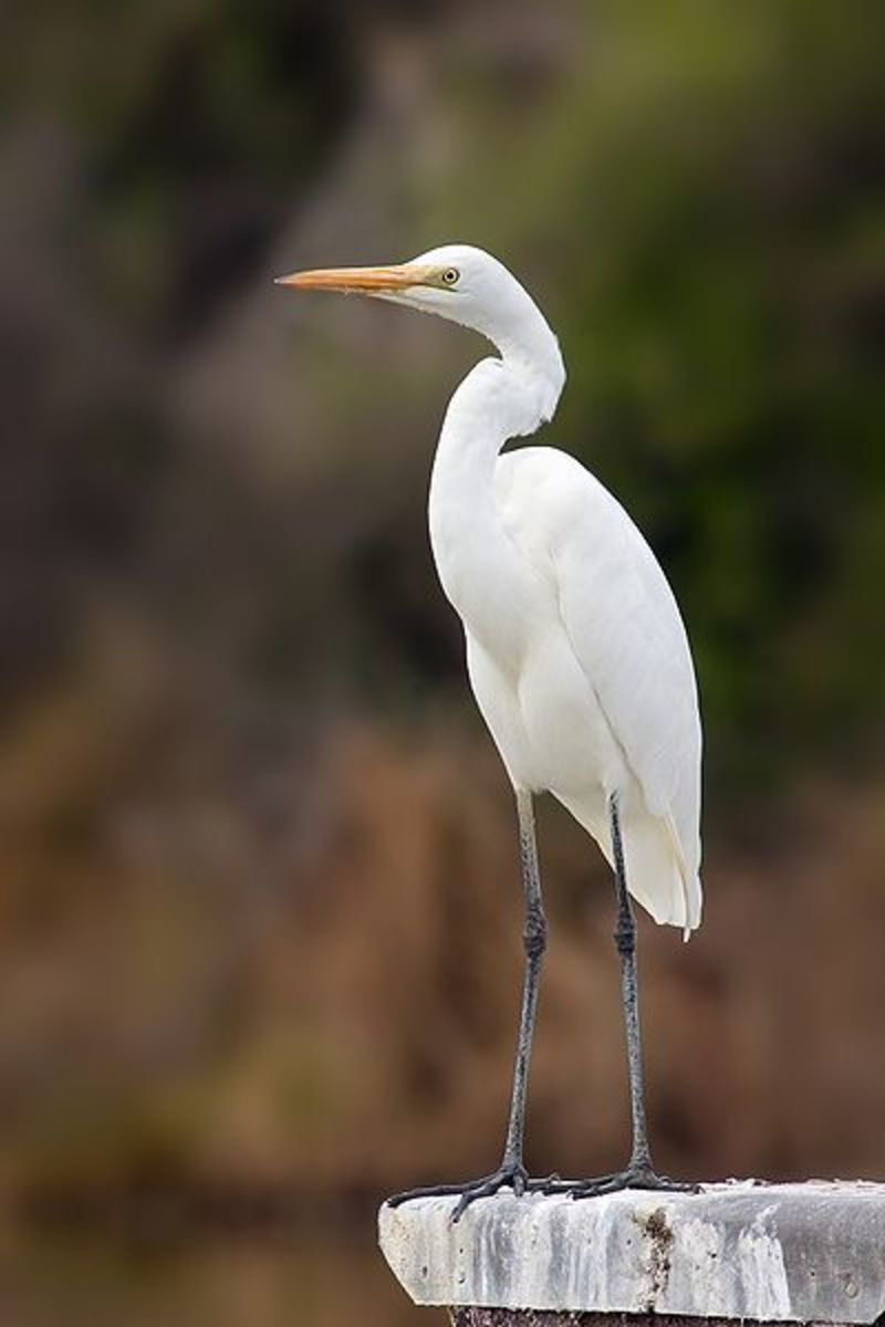 Egret, native bird of Florida.