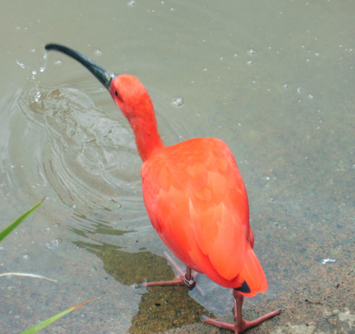 The Scarlet Ibis, also the name of a short story by James Hurst