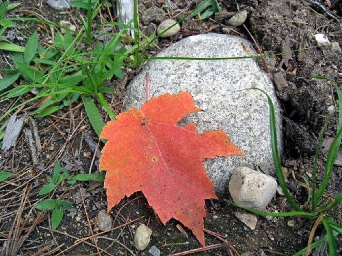The contrast of the light colored rock and the autumn leaf makes it eye-catching.