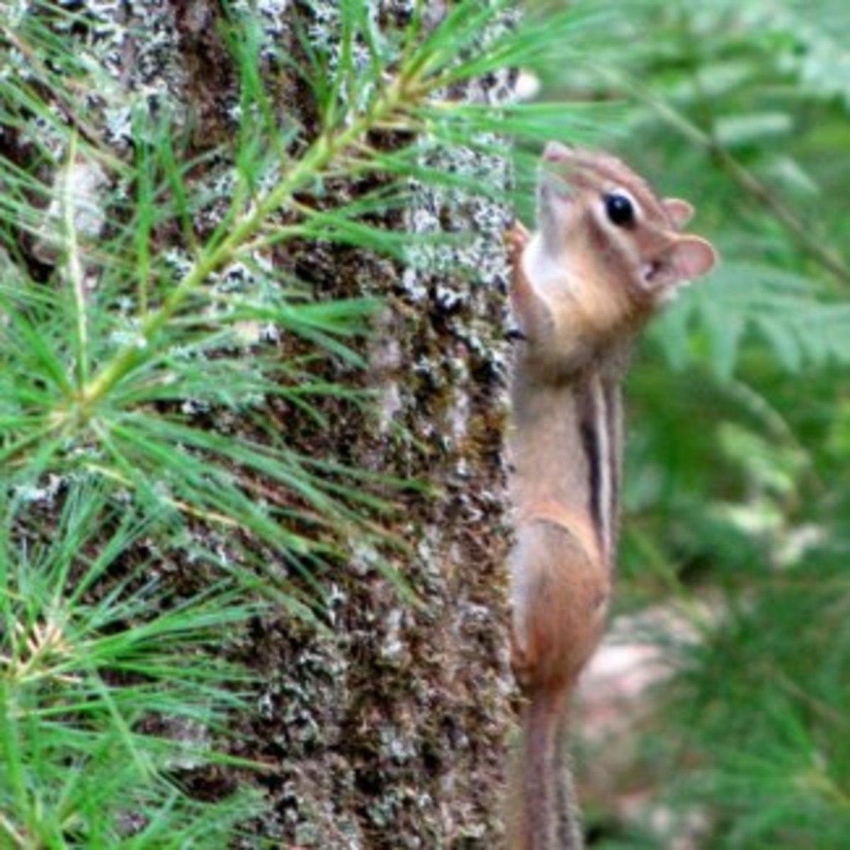 Chipmunk climbing a tree.